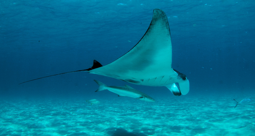 Manta rays have an uncommon mouth filter that withstands obstructing