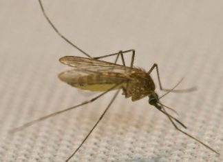 Gene drive utilized to turn all female mosquitos sterilized