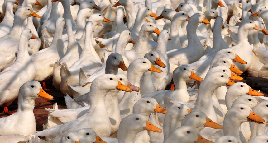In China, a fatal stress of bird influenza now quickly contaminates ducks