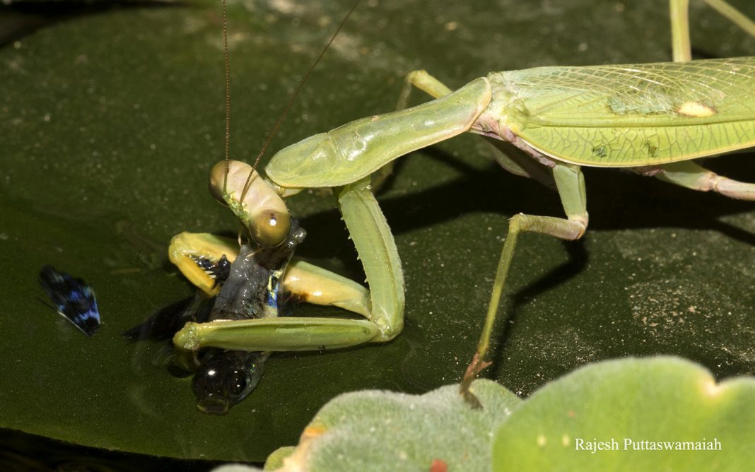 Hoping Mantis That Captures Fish Is a Guppy's Worst Headache