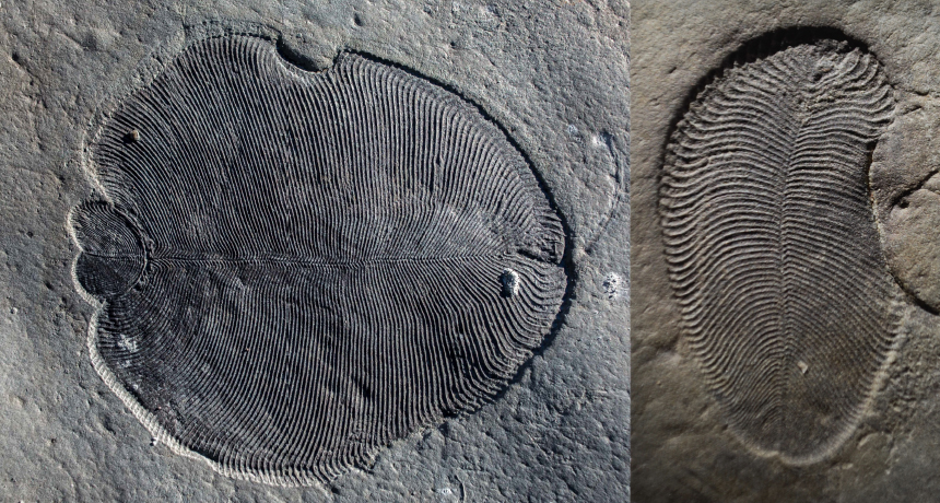 Cholesterol traces recommend these mystical fossils were animals, not fungis