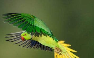International Parrot Trade Threatens All Endangered Parrots By Spreading Out Fatal Infection
