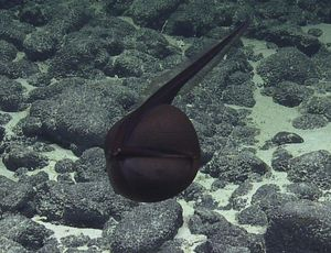 See a freaky gulper eel open large in unusual video