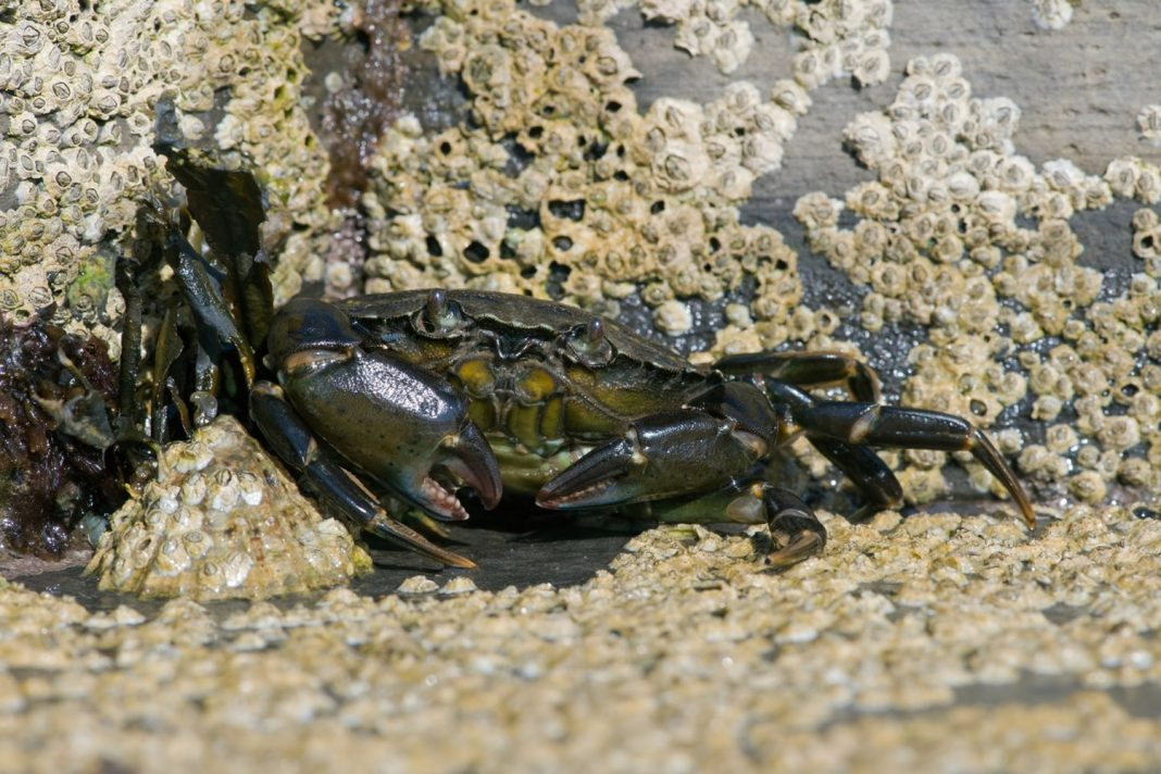 Mutant Green Crabs Are Mean, and They're Attacking Maine's Waters