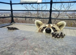 'Lucky' Raccoon Endures 9-Story Leap from Structure