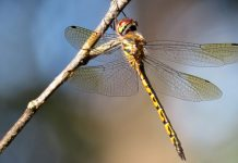 How mathematics assists discuss the fragile patterns of dragonfly wings