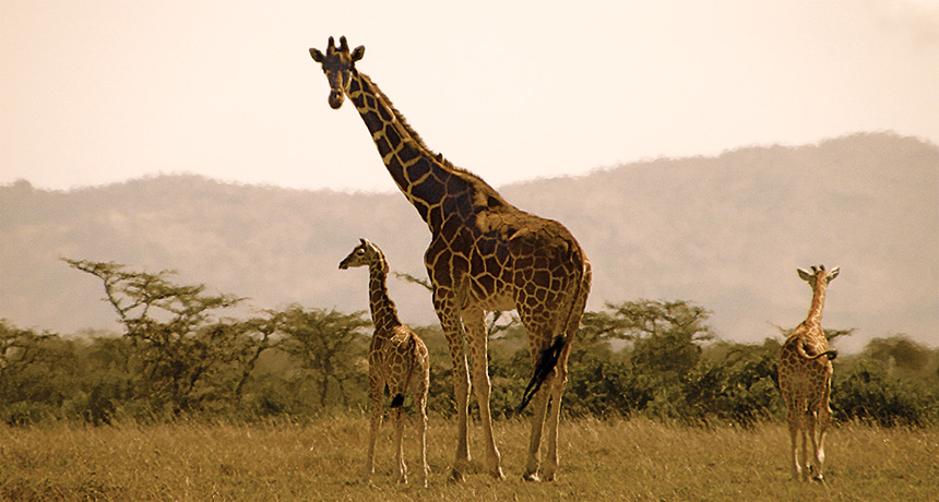 Giraffes acquire their areas from their moms