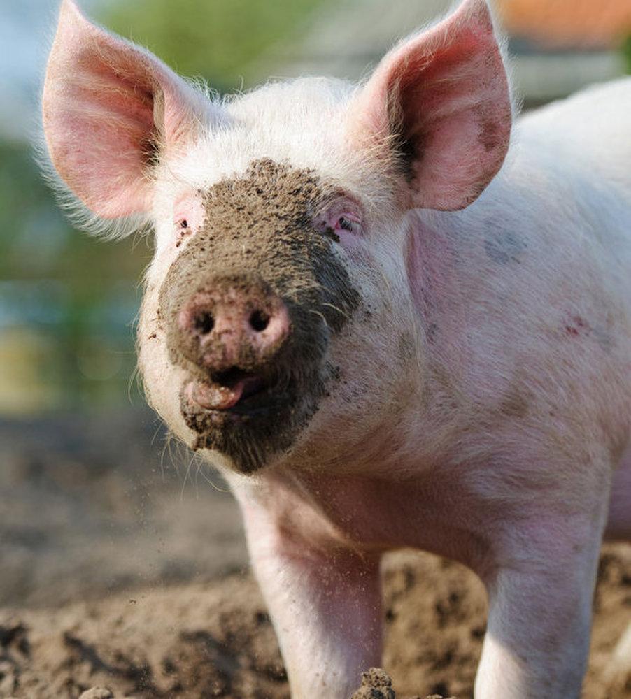 Pigs, Hogs & & Boars: Realities About Swine