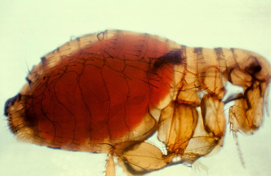 Oh Fleas, Now There Is A Typhus Break Out In Los Angeles