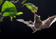 How nectar bats fly no place