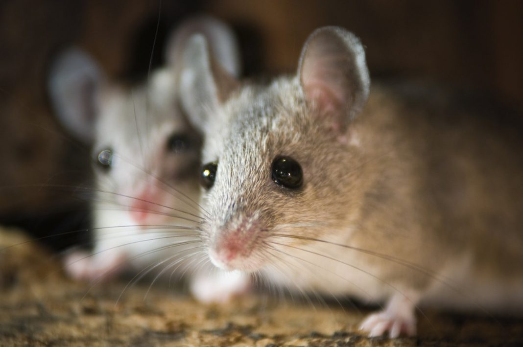 Here's How Scientists Made Mice with 2 Daddies