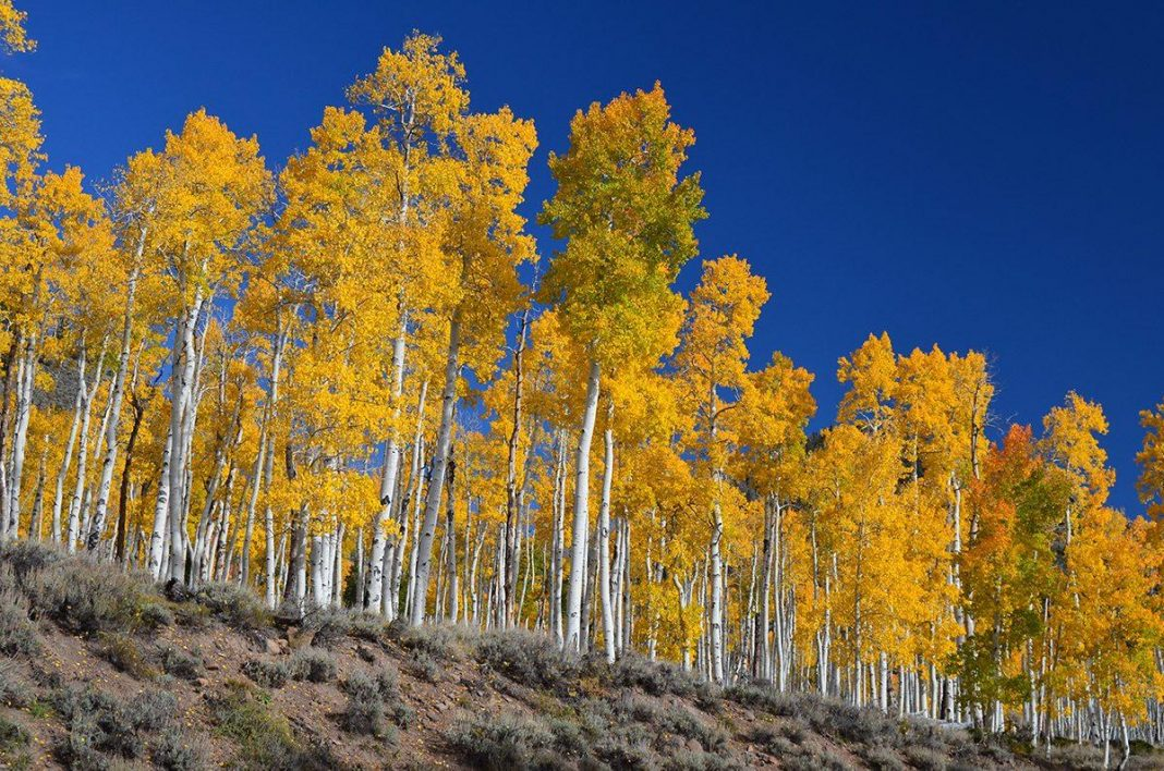 The World's Largest Organism, Pando, Is Passing Away