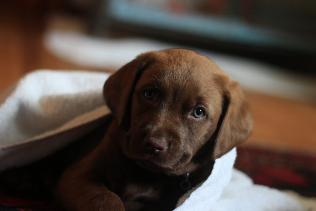 Chocolate Labs Are Less Healthy Than Their Black and Yellow Pup Friends