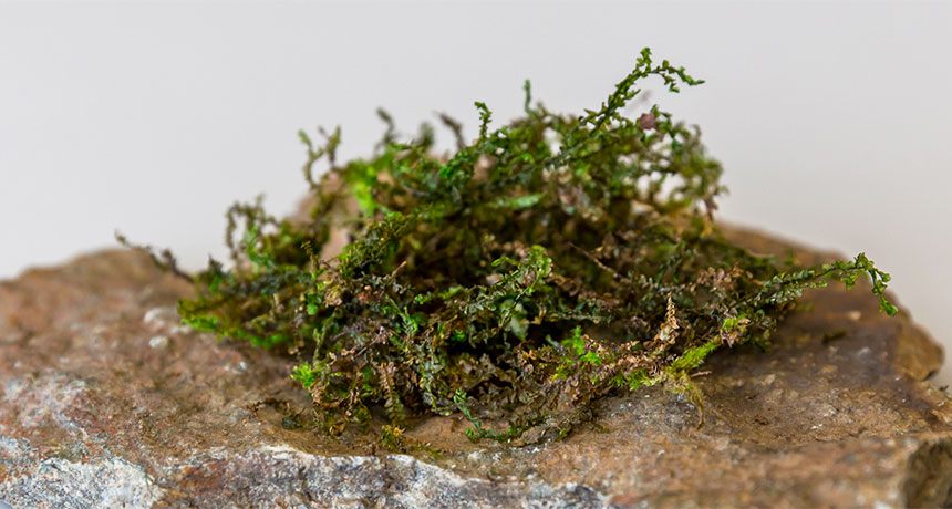 Liverwort plants include a pain reliever comparable to the one in cannabis