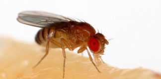 Tinkering fruit flies' gut germs turns them into speed walkers