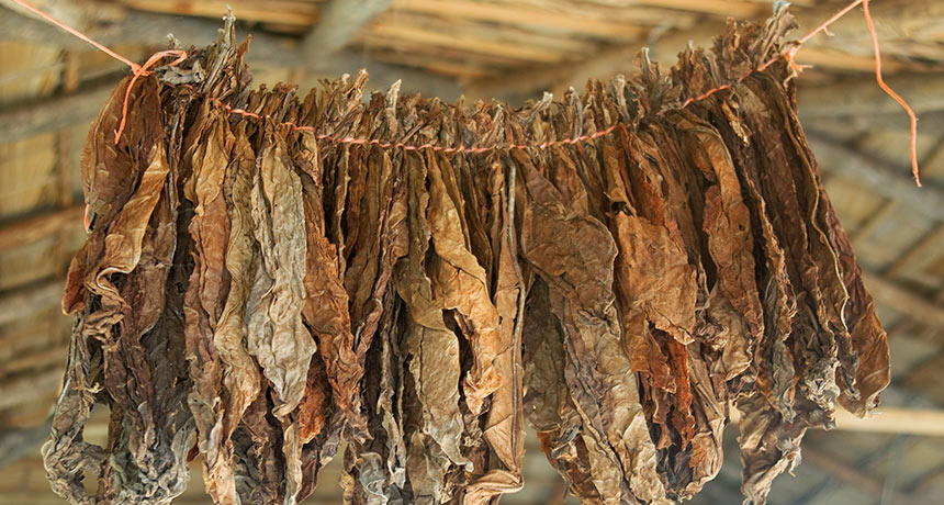 Individuals in the Pacific Northwest smoked tobacco long in the past Europeans appeared