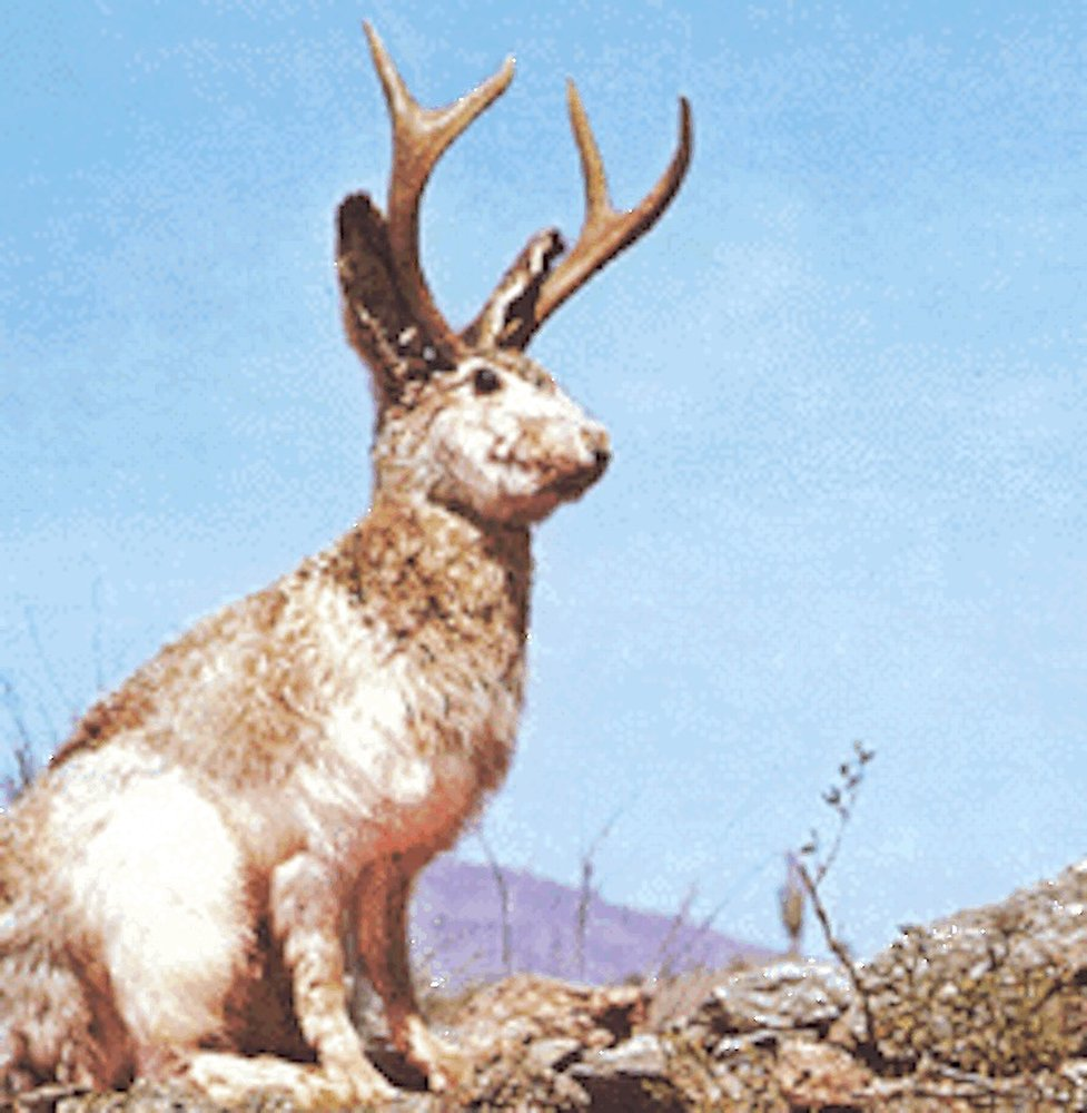 Images: Black-Tailed Jackrabbits, the Curious Animals of the American West