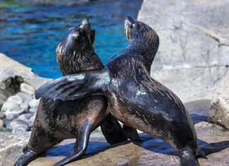 Undetectable Stew of Plastic Contamination Found in Fur Seal Poop