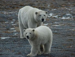 Polar bears, threatened by environment modification, have one safe house