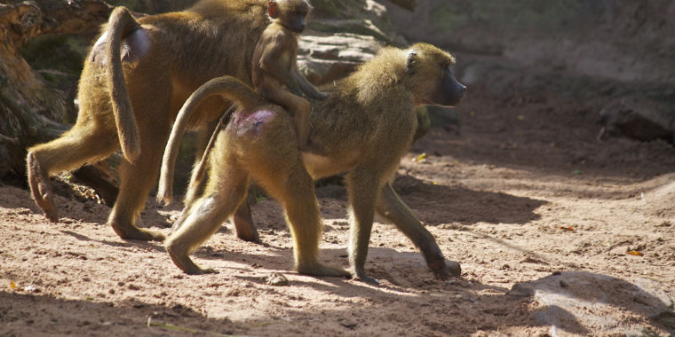 Some ideas about why male Guinea baboons fondle each other's genital areas