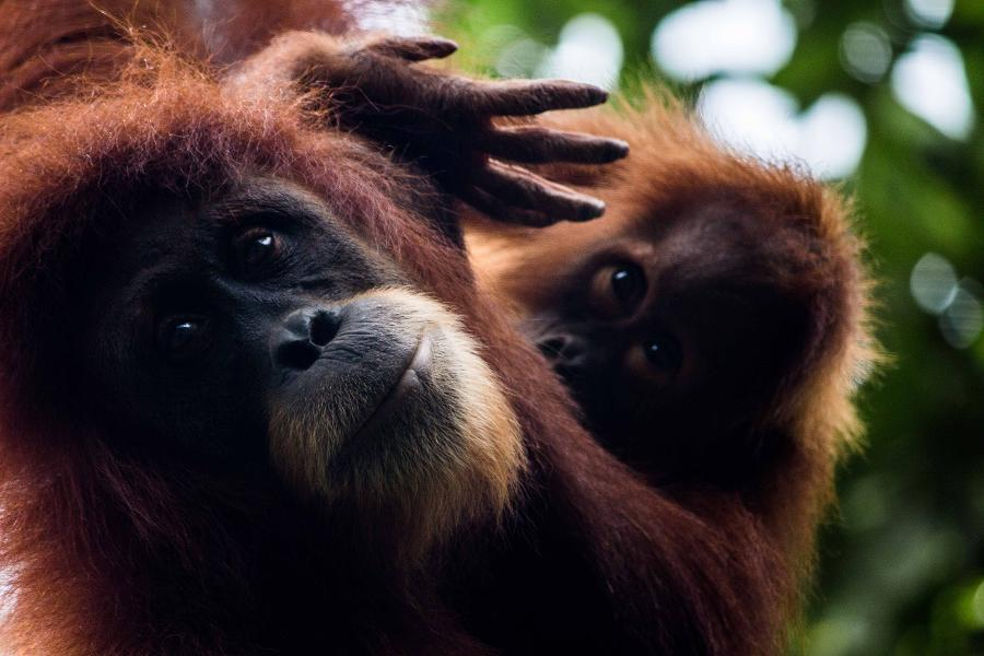 Orangutans Have The Ability To 'Talk' About The Past