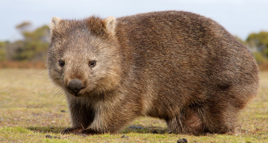 Wombats are the only animals whose poop is a cube. Here's how they do it.