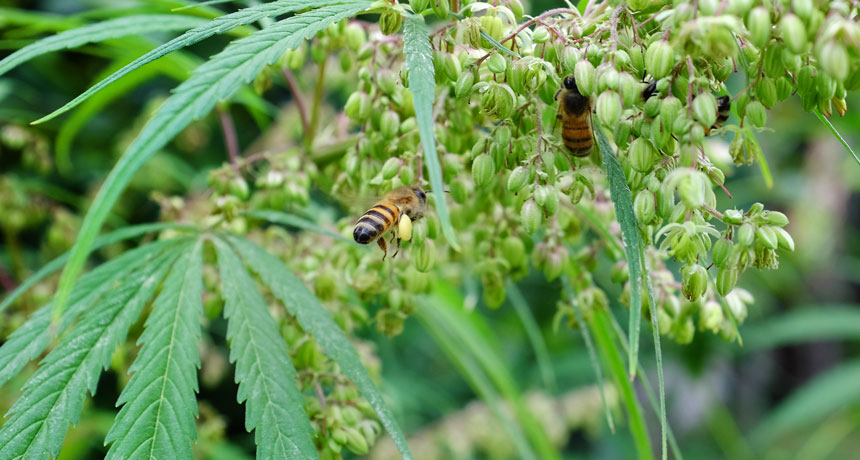 Hemp fields use a late-season pollen source for stressed out bees