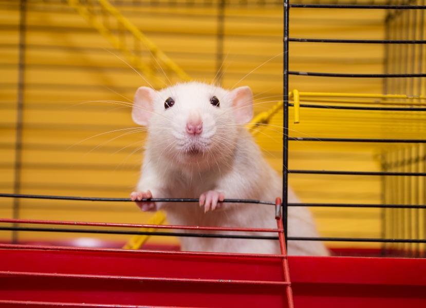 """'Durability Protein' Regrows Muscle In Old Mice that """"Parallels"""" Their Young Equivalents"""