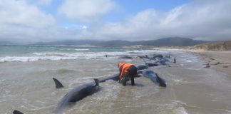 145 Pilot Whales Discovered Lifeless on Distant New Zealand Seashore. No person Is aware of Why.