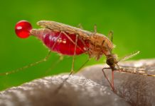 Mosquitoes might browse winds above Africa more than we understood