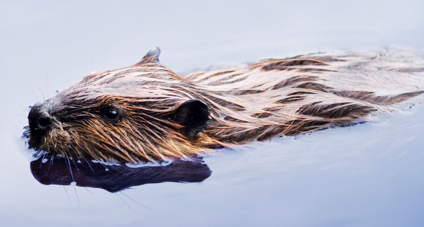 Beavers are engineering a brand new Alaskan tundra
