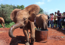 I checked out a child elephant orphanage in Kenya– here's what it resembled