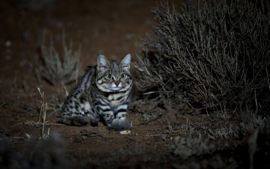 Cute, Remorseless Killing Device Is World's Deadliest Feline