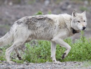 Tracking the covert lives of Denali's wolves video