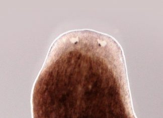 These Flatworms Can Grow Back A Body From A Piece. How Do They Do It And Could We?
