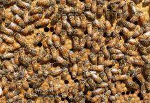 Rebel honeybee employees lay eggs when their queen is away