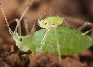 Pea aphid children utilize piggyback trips to leave a crisis