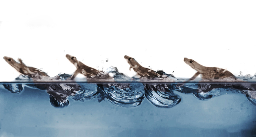 Here's how geckos (practically) stroll on water
