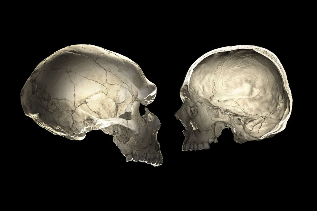 Do You Bring Neanderthal DNA? The Forming of Your Skull May Inform.