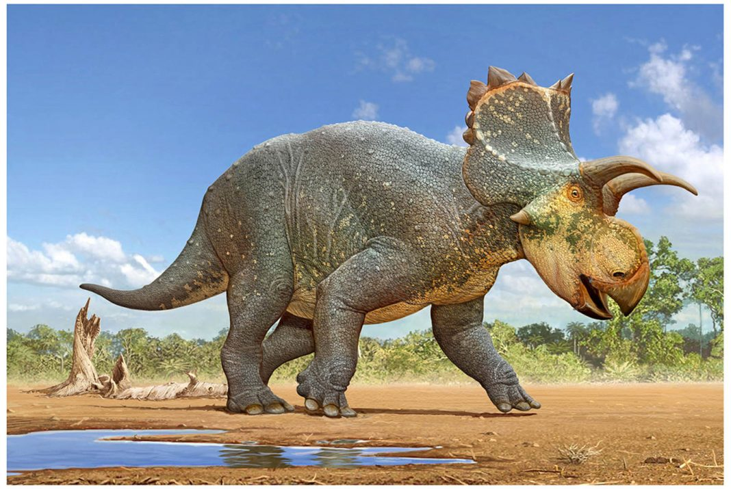 Half-Size, Ruffle-Headed Relative of Triceratops Discovered