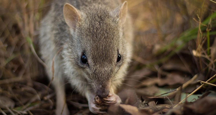 Endangered northern bettongs aren't fussy truffle eaters