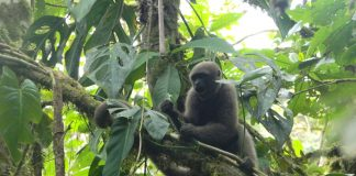 Researchers Attempt to Conserve Woolly Monkeys from Termination … by Training Them to Be Wild Again