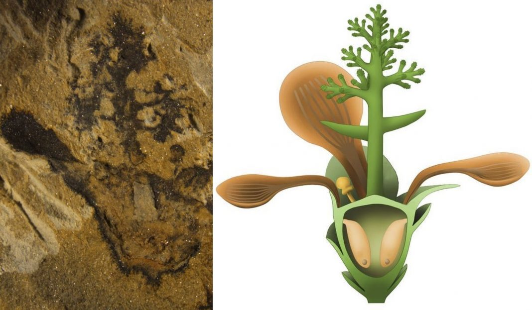 World's Oldest Flower Unfurled Its Petals More Than 174 Million Years Ago