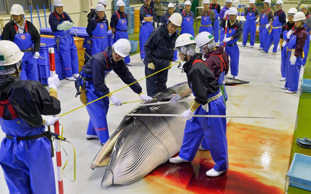Japan May Start Commercial Whale Searching Again
