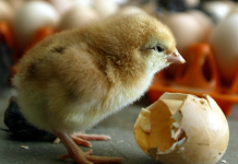 The world's very first no-kill eggs have actually gone on sale after researchers discovered a method to identify a chick's sex prior to it hatches