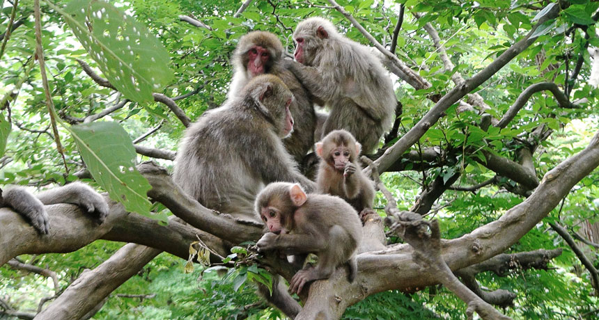 Macaques take turns while chattering