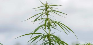 The Race to Re-Learn Hemp Farming