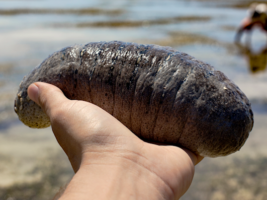 Sea cucumbers are so important that individuals are risking their lives diving for them