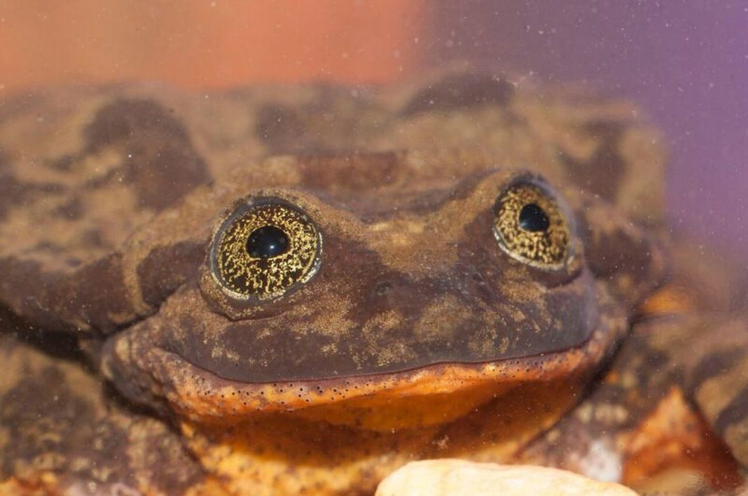 Romeo the Water Frog Has Lastly Found His Juliet– and Their Love Simply May Save His Types