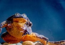 Romeo, the 'world's loneliest frog,' lastly gets a fracture at love